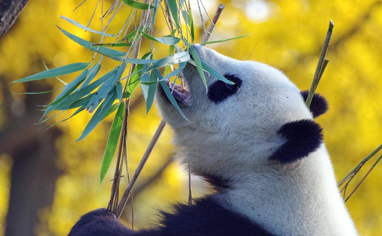 A bambusz környezet- és pandabarát.